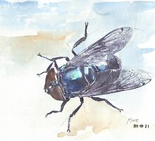 Blue bottle fly (Calliphora vomitoria) by Maree Clarkson