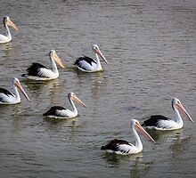 Pelicans Swimming by robcaddy