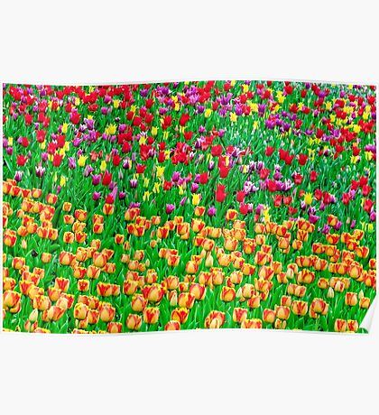 Tulips of field singing Poster