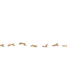 Fox Trot - Algonquin Park by Jim Cumming