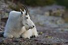 Mountain Goat Watching the Sunset by William C. Gladish