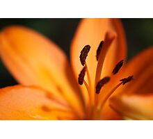 fire lily Photographic Print