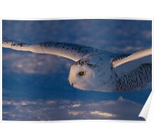 Snowy Owl flys at Sunset Poster