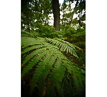 fern in the forest Photographic Print