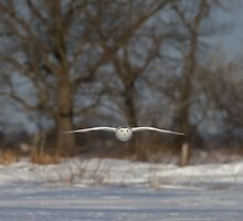 Glide - Snowy Owl by Jim Cumming