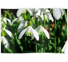 Snowdrop flowers Poster