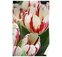 White and Red Tulips Poster