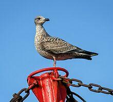 Young Herring Gull by Susie Peek