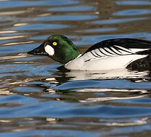 Goldeneye  Duck by M.S. Photography/Art