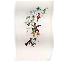 A monograph of the Trochilidæ or family of humming birds by John Gould 1861 V5 108 Poster