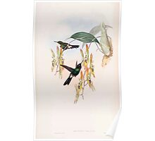 A monograph of the Trochilidæ or family of humming birds by John Gould 1861 V4 158 Poster