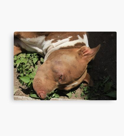Pit Bull Dog in a Garden Canvas Print