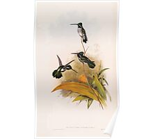 A monograph of the Trochilidæ or family of humming birds by John Gould 1861 V4 234 Poster