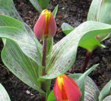 Cheeky Tulips - Keukenhof Gardens Sticker