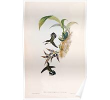A monograph of the Trochilidæ or family of humming birds by John Gould 1861 V5 316 Poster