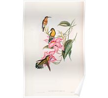 A monograph of the Trochilidæ or family of humming birds by John Gould 1861 V4 118 Poster