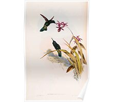 A monograph of the Trochilidæ or family of humming birds by John Gould 1861 V4 110 Poster