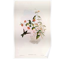 A monograph of the Trochilidæ or family of humming birds by John Gould 1861 V4 318 Poster