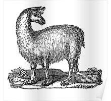 Vintage Llama Illustration Retro 1800s Black White Llamas Drawing Poster