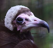 Hooded vulture by Jo Nijenhuis