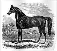 Vintage Morgan Horse Equestrian Horses Poster