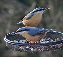 Nuthatches love sunflower seed hearts by missmoneypenny