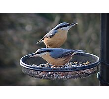 Nuthatches love sunflower seed hearts Photographic Print