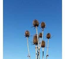 clear sky and thistles Photographic Print
