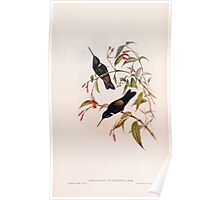 A monograph of the Trochilidæ or family of humming birds by John Gould 1861 V4 222 Poster