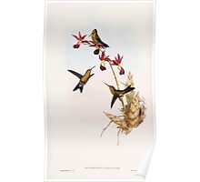 A monograph of the Trochilidæ or family of humming birds by John Gould 1861 V5 156 Poster