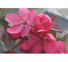 Crab apple tree by bs hilton Photographic Print