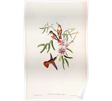 A monograph of the Trochilidæ or family of humming birds by John Gould 1861 V5 100 Poster