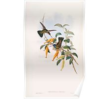 A monograph of the Trochilidæ or family of humming birds by John Gould 1861 V5 184 Poster