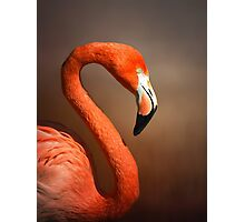Caribean flamingo portrait Photographic Print