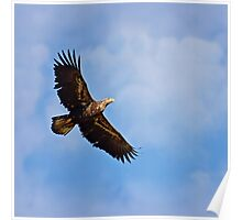Young bald Eagle in Flight Poster