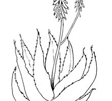 Aloe love (plant of immortality) by Maree Clarkson
