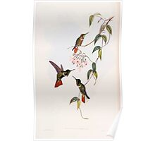 A monograph of the Trochilidæ or family of humming birds by John Gould 1861 V4 086 Poster