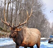 They didn't have any carrots - do you have some??? Wapitis Elk by Poete100