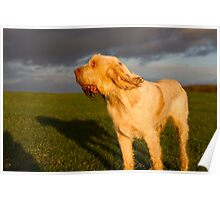 Orange and White Italian Spinone Dog Poster