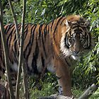 ...a Tiger for Valentine.... by John44