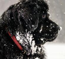 Beautiful big newfondlander dog in snow portrait Sticker