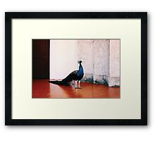 Peacock at Hotel Nacional (Havana) Framed Print