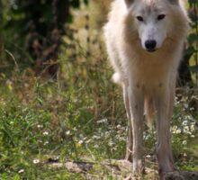 Hudson Bay Wolf Sticker