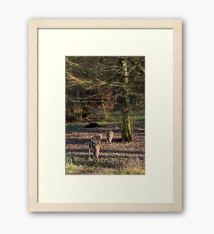 Canis Lupus Lupus Framed Print