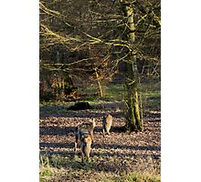 Canis Lupus Lupus Photographic Print