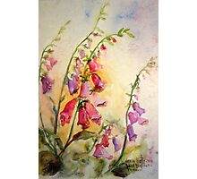 French Foxgloves Photographic Print