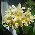Golden Dragon Clivia by Pat Yager