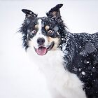 Border Collie in the Snow` by Brent Olson