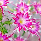 Summer beauty by Redrose10