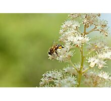 A bee's world Photographic Print